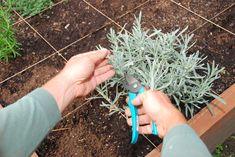 Namnožte si rozmarín, tymián a šalviu My Secret Garden, Herbs, Gardening, Plants, Balcony, Lawn And Garden, Herb, Plant, Planets