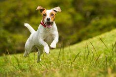 beliebte Hunderasse der Österreicher, beliebte Hunderasse, Hunderassen für Familien, Hunderasse die sehr beliebt sind in Deutschland und Österreich Jack Russell Terriers, Jack Russells, Hyperactive Dog, Canis, Pet Friendly Cabins, Dog Runs, Dog Owners, Dog Pictures, Dog Training