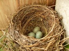 with robin eggs! A sure sign of spring Bird Nests, Spring Birds, Kinds Of Birds, Childhood Days, Spring Sign, Robins Egg, Eggs, Easter, Country