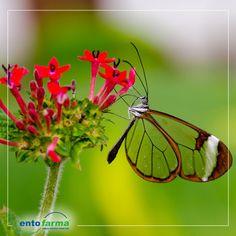 Huzurlarınızda Latin Amerika'da görülen eşsiz bir güzellik: Cam Kanatlı Kelebek #camkanatlikelebek #kelebek #entofarma #haserekontrol #ilaclama #bocekilaclama