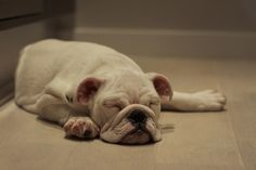 bulldog pup
