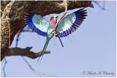 This is for all you friends, contacts and colleagues on Wildlife Photography and hope your 2015 starts of with a splash and remains so for the next 12 months!  A Splash which is as colourful as this Lilac Breasted Roller coming in for a landing on a tree in Maasai Mara, Kenya.