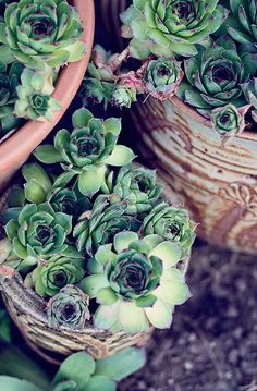 Succulent Garden....hens and chicks are my most fav plant ever!! <3