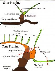 How to Prune a Grape Vine Pruning prevents the vine from growing too much foliage, which in turn, amounts to not enough fruit. A well-pruned vine is given maximum exposure to sunlight, air circulation and maintenance.These factors create an atmosphere l Fruit Garden, Edible Garden, Garden Plants, Growing Grapes, Growing Plants, How To Grow Grapes, Grape Vine Pruning, Espalier, Vides