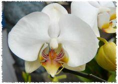 Alice's White Orchid. Holualoa, Hawaii.