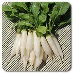 Organic White Icicle Radish
