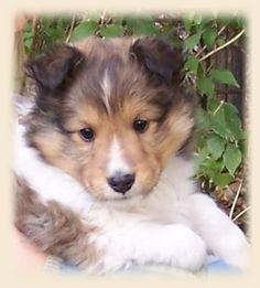Shetland Sheepdog Puppies | Shetland Sheepdog Puppies