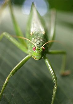 I love Katydids :D they are so gentile and so precious <3