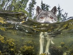 Researcher Ian McAllister used an underwater housing to get this intimate portrait of a wolf wading through the intertidal zone on the British Columbia coast in Canada. This wolf took a break from eating herring roe to investigate the photographer's half-submerged camera.