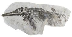 New species of extinct British marine reptile emerges from Doncaster Museum storeroom Reptiles, Pictures Of Fossils, British Marine, Dinosaur Discovery, Anthropologie, Dinosaur Fossils, Museum, Extinct Animals, The Good Dinosaur