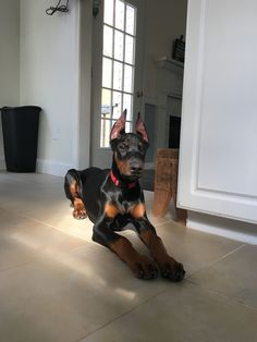 Moose Our four month young Doberman ❤️ Doberman Pinscher Dog, Rottweiler Dog, Cute Puppies, Cute Dogs, Dogs And Puppies, Doggies, Animals And Pets, Baby Animals, Cute Animals