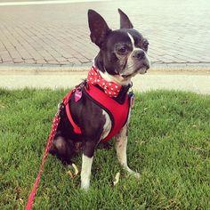 Valentine, Boston Terrier