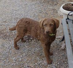 Chesapeake Bay Retriever Pups ~ Classic Look