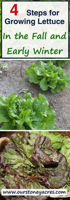 Growing lettuce in the fall and early winter is really quite easy. All it takes in a little planning and protection from the cold to get a great fall crop.