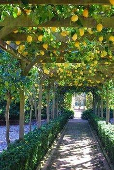 Lemon tree path at lotusland