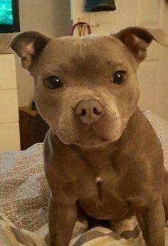 awwww-cute:Pit bull baby (Source: http://ift.tt/2fWstX6)