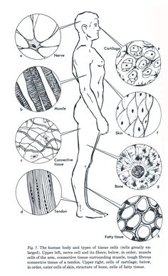 Human Anatomy Coloring Book New Week 3 Anatomy Diagram Of Human Tissue A Tissue is Made Science Cells, Science Biology, Teaching Biology, Science Lessons, Science Education, Life Science, Tissue Biology, Science Worksheets, Forensic Science