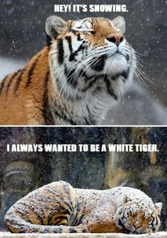 Dumb. But I laughed anyway. Crazy Cats, Big Cats, Cats And Kittens, Cute Funny Animals, Cute Cats, Funny Cats, Funny Tiger, Humor Animal, Animal Memes
