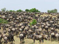 See the Great Migration in the Masai Mara © Alice Gobelli