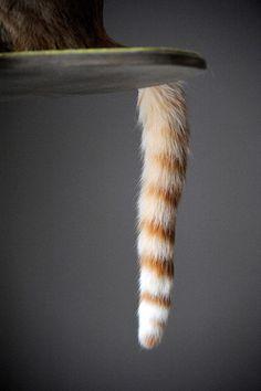Striped cat tail