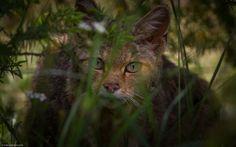 Wild Eyes - Wild cat (Felis silvestris )  Mt. Devas, Prespes, Greece