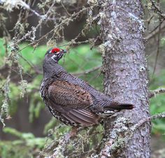 Spruce Grouse (Falcipennis canadensis) On a branch