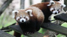 Ying e Yang: filhotes de panda vermelho viram atração na França