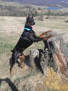 The Doberman Pinscher is among the most popular breed of dogs in the world. Known for its intelligence and loyalty, the Pinscher is both a police- favorite Doberman Shepherd, Doberman Pinscher Dog, Weimaraner, European Doberman, Doberman Love, Working Dogs, Cute Funny Animals, Big Dogs, Beautiful Dogs