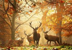Carpathian stag ,Romania