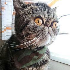 今日は迷彩柄のスカーフ風カラー。 格好良いんれすよ♪キリリッ。  #エキゾチックショートヘア #エキゾチック #exoticshorthair #exotic #cat #catsofinstagram #catlovers #lovecats #fluffycat #kitty #kitten #meow #cute #cool #love #fashionable #kawaii #異国短毛貓 #猫 #愛猫 #ねこ部 #ふわもこ部 #ぶさかわ猫 #格好良い猫 #みんねこ #ピクネコ #迷彩柄 #似合う #癒し #うず
