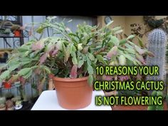 10 reasons why your Christmas cactus / Thanksgiving Cactus is not flowering - YouTube