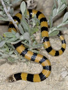 Jan's Banded Snake - Simoselaps bertholdi Also referred to as Southern Desert Banded Snake, Simoselaps bertholdi (Elapidae) is a venomous snake endemic to Australia. It has a body cream, yellowish or reddish-orange above, the individual scales edged behind with darker reddish-brown, and with numerous black cross-bands along the length of the body. The average total length of this snake is about 30 cm.