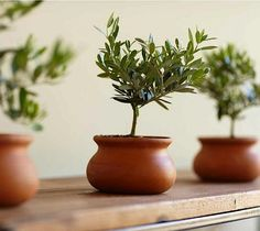 Small Olive Plant Topiary