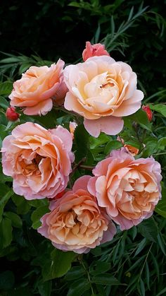 Beautiful Roses, Beautiful Gardens, Beautiful Flowers, Rose Pictures, Beautiful Pictures, Wedding Flower Guide, Plant Drawing, Exotic Plants, Flower Images