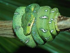 Animals Snake wallpapers for desktop - Snake wallpaper images Snake Wallpaper, Nature Wallpaper, Beautiful Snakes, Most Beautiful Animals, Beaux Serpents, Emerald Tree Boa, Snake Images, Spiders And Snakes, Colorful Snakes