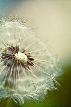 123/365: What did one dandelion say to the other dandelion? Take me to your weeder! | by pixelmama