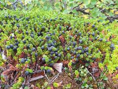 Crowberry Empetrum nigrum berries have a bland, modest taste. taste of the berry improves with cooking or freezing. berries have a glossy bl...