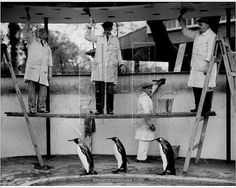 Photographic Print; Penguins Decoration. Three king penguins march by, oblivious of the workmen painting their enclosure at London Zoo.