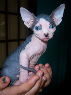If I can't have a dragon I want a Sphynx ❤❤❤ A BEAUTIFUL CAT DRAGON! ❤❤❤