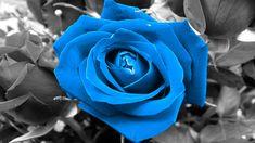 Resultado de imagen de rosas bonitas azules