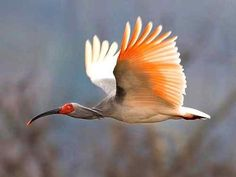 he Asian crested ibis (Nipponia nippon) originally nested in eastern Russia Japan and China but, presently, the only known remaining population of the species could be found in mainland China's Shaanxi Province. In 2006, the number of the species on record is around 500.