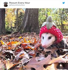 I'm wearing my because a They don't fit my anymore but I will never give up my so it's a… Animals And Pets, Baby Animals, 1 Gif, Opossum, Animal Facts, Cute Funny Animals, Mammals, Fur Babies, Creatures