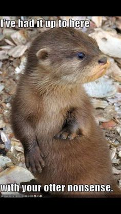 i have always wanted a pet otter. i have a collection of otter stuffed animals from forever ago Cute Wild Animals, Animals Beautiful, Baby Animals, Funny Animals, Otters Funny, Baby Giraffes, Adorable Animals, Beautiful Images, Otter Pup