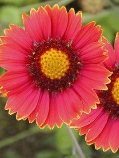 "Gaillardia Burgundy, perennial.  24""H for full sun"
