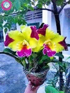 exotic flowers blue with pink veins Unusual Flowers, Rare Flowers, Amazing Flowers, Beautiful Flowers, Orchids Garden, Orchid Plants, Orchid Seeds, Flower Seeds, Phalaenopsis Orchid