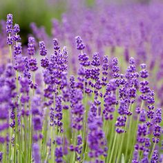i'd love to experiment with growing english lavender.