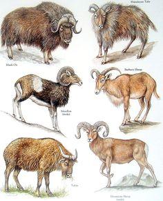 Bóvidos  buey almizclero jemlahicus Tukin montaña ovejas