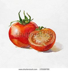 Tomato. Watercolor painting on white background.