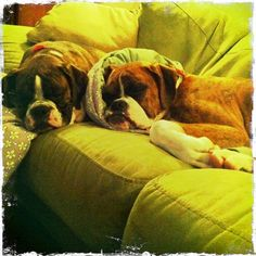 Boxers Of Palo Mesa's special girls Miss Emma & Zoey!