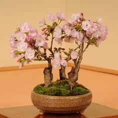 旭山桜3本仕立て